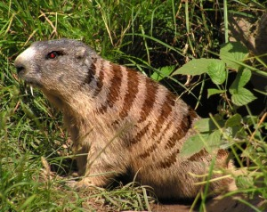 Foto di un raro esemplare di marmotta tigrata vampira